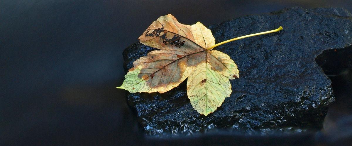 Efterårsblad på sten i vand_slider