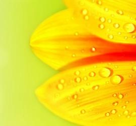 Vanddråber på solsikke_slider